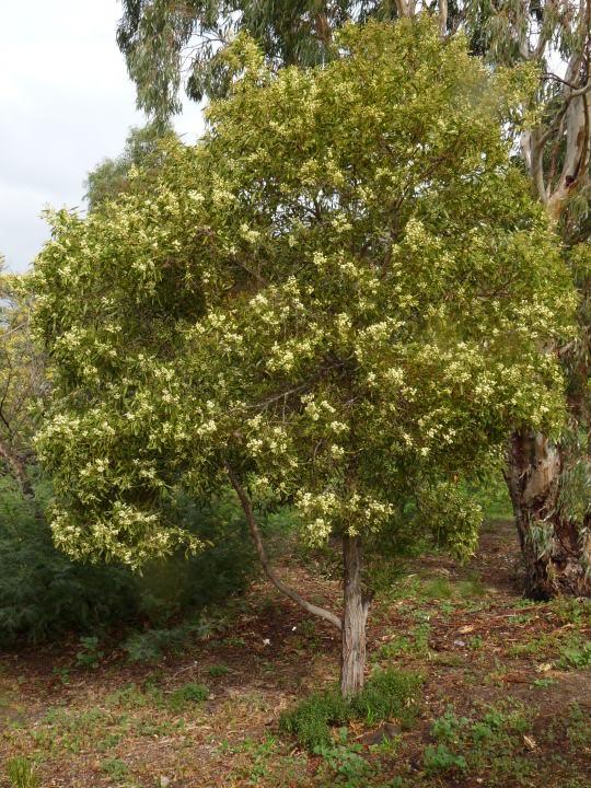 Acacia melanoxylon plant