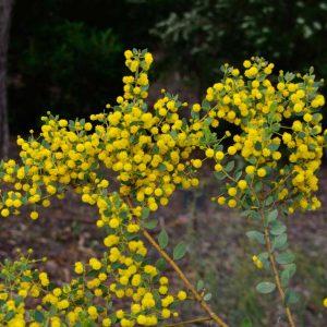 Acacia Brachybotrya plant
