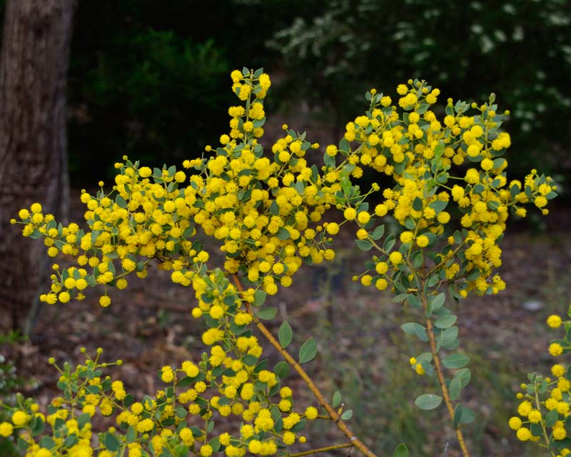 Acacia brachybotrya flora plant