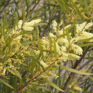 Acacia doratoxylon plant