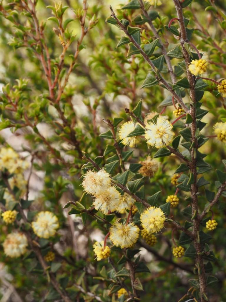 Acacia gunnii plant