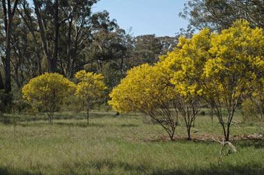 Acacia hakeoides plants