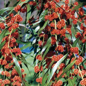 Acacia leprosa flowers