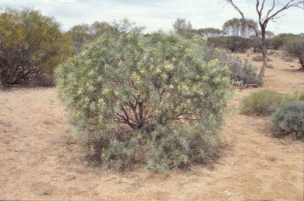 Acacia oswaldii (base)
