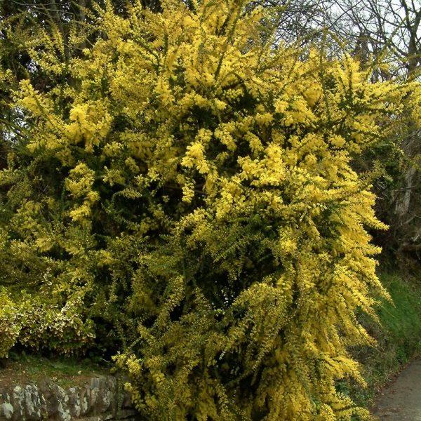 Acacia pravissima plant