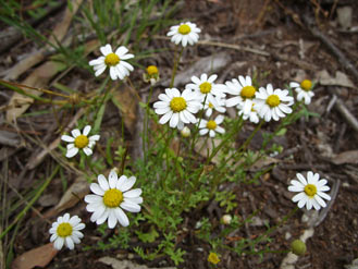 Brachyscome gracilis plant