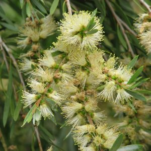 Callistemon sieberi flower