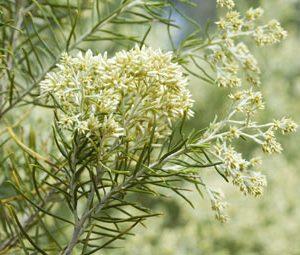 Cassinia laevis flowers