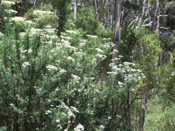 Cassinia aculeata plant