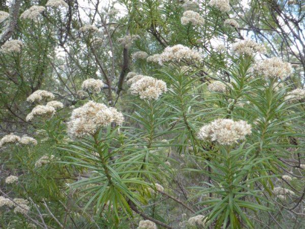 Cassinia longifolia plant