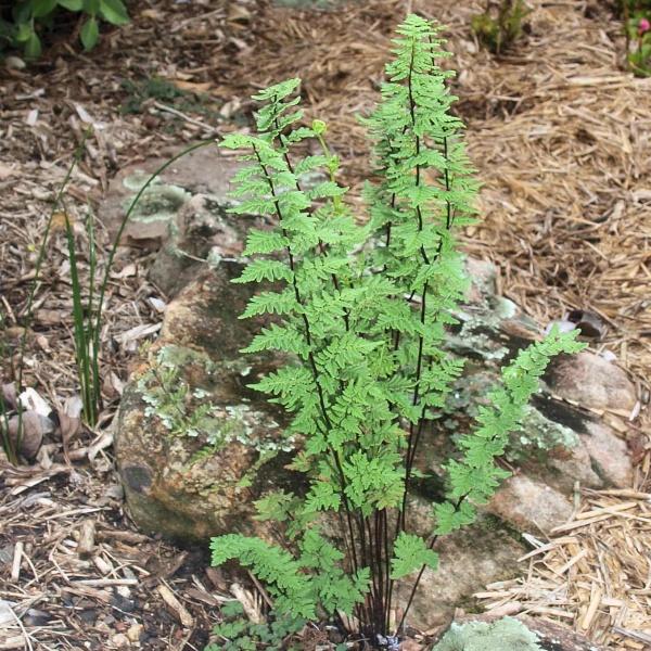 Cheilanthes distans plant