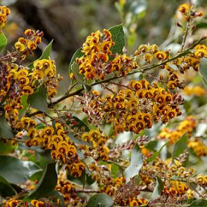 Daviesia latifolia flowers