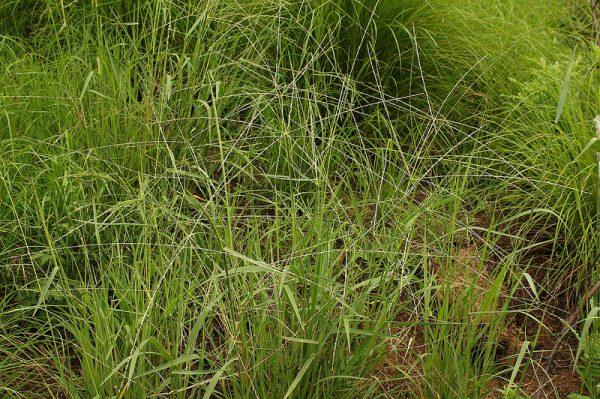Digitaria divaricatissima plant