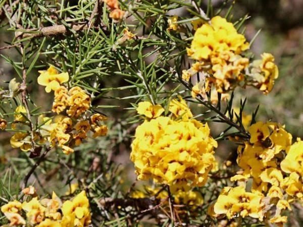 Dillwynia juniperina flowers