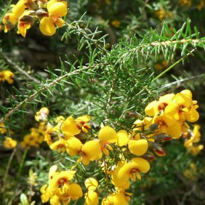 Dillwynia retorta plant
