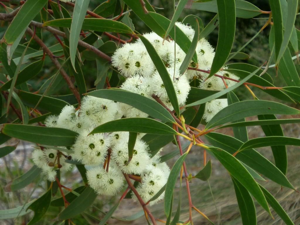 Eucalyptus bicostata flora flowers