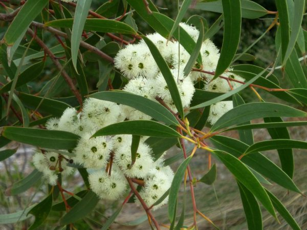 Eucalyptus bicostata flower