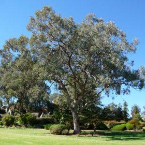 Eucalyptus albens plant