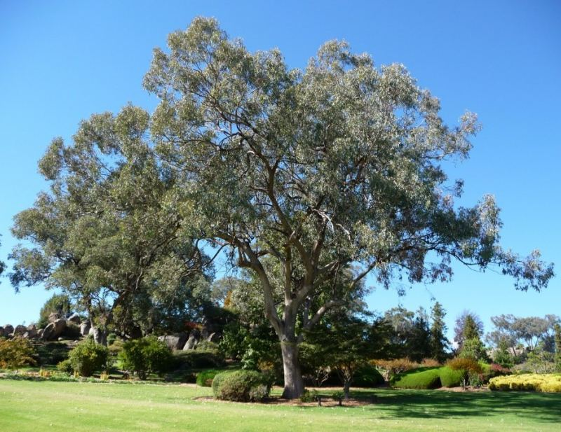 Eucalyptus albens flora plant