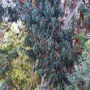 Eucalyptus bicostata plant