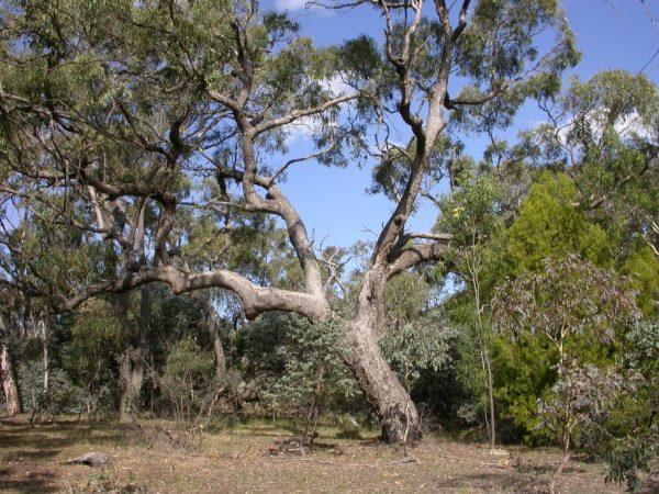 Eucalyptus bridgesiana plant