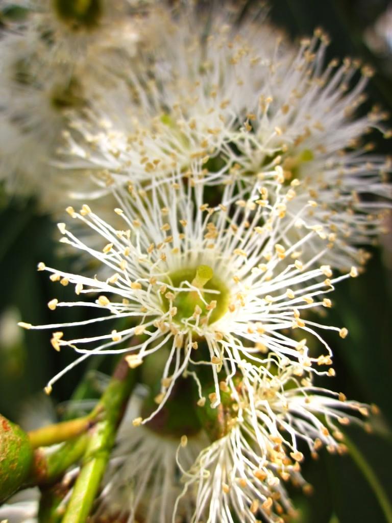 Eucalyptus dalrympleana flora flowers