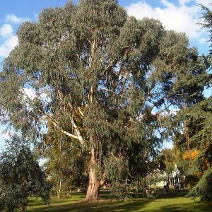 Eucalyptus dalrympleana plant