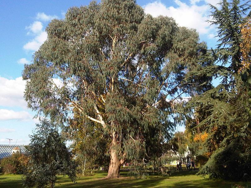 Eucalyptus dalrympleana flora plant