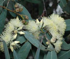 Eucalyptus dealbata flower