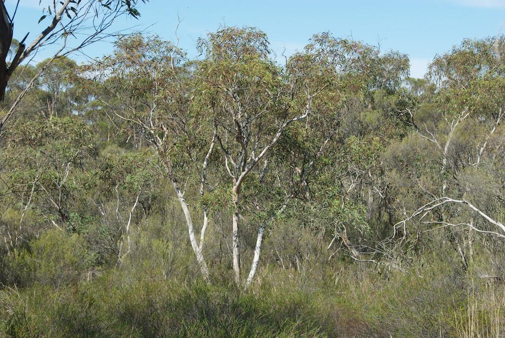 Eucalyptus dwyeri flora plant