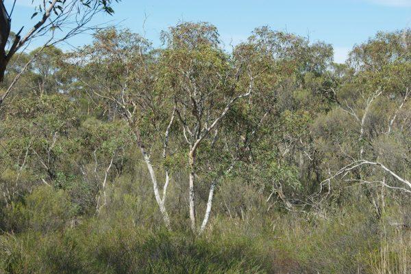 Eucalyptus dwyeri tree