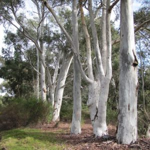 Eucalyptus mannifera plant