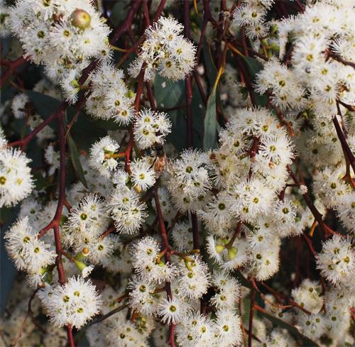 Eucalyptus microcarpa flora flowers