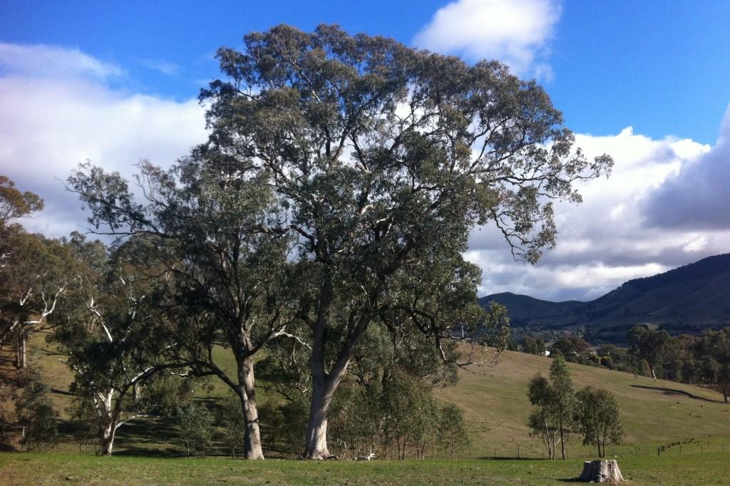 Eucalyptus microcarpa flora plant