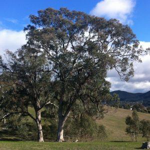 Eucalyptus microcarpa plant