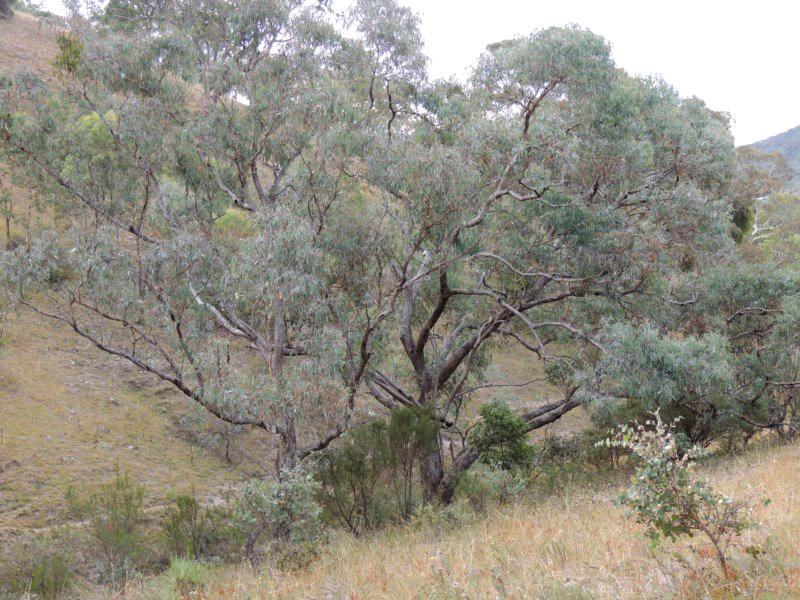 Eucalyptus nortonii plant