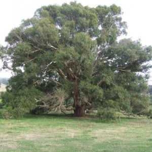 Eucalyptus rubida plant
