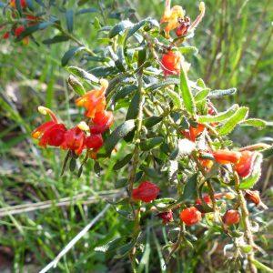 Grevillea alpina plant