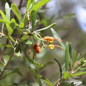 Grevillea floribunda plant