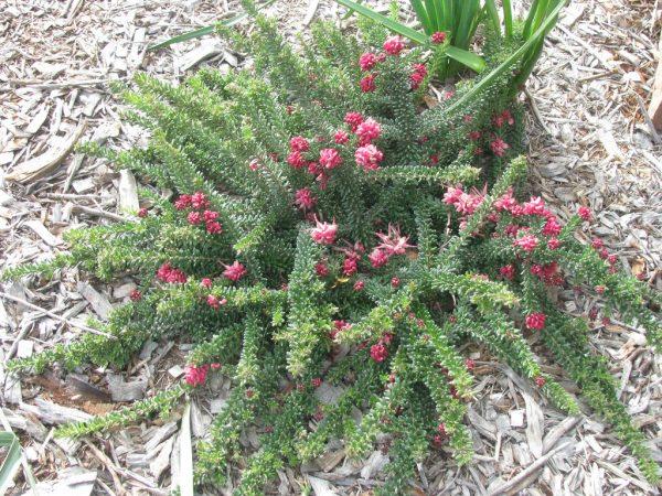 Grevillea lanigera plant