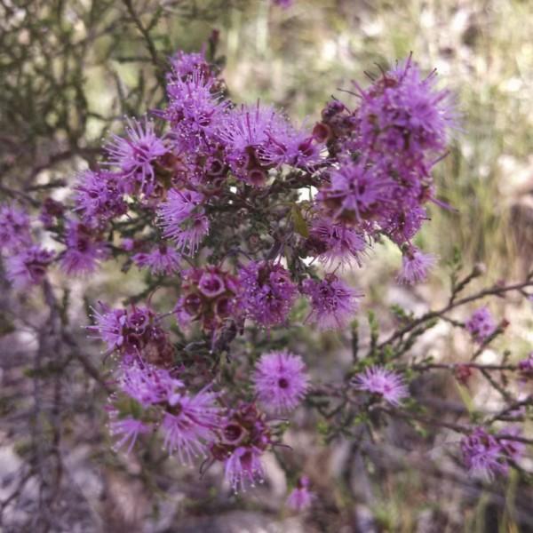 Kunzea parvifolia flowers