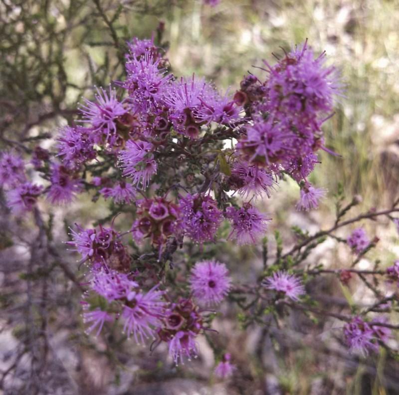 Kunzea parvifolia flora flowers