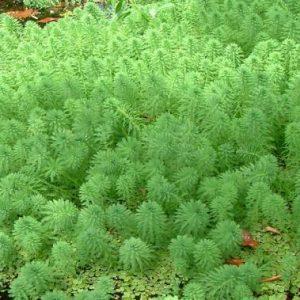 Myriophyllum papillosum plant