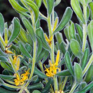 Persoonia rigida plant