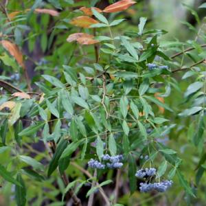 Polyscias sambucifolia plant
