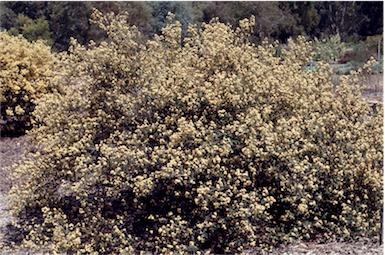 Pomaderris eriocephALA flora plant