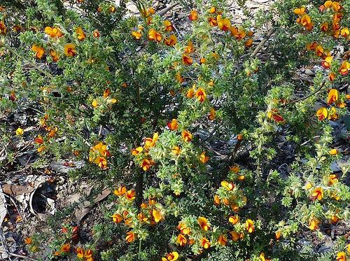 Pultenaea foliolosa plant