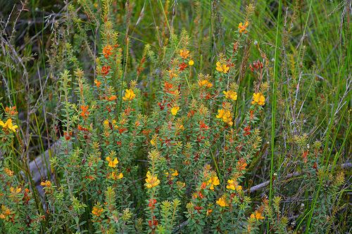 Pultenaea spinosa plant