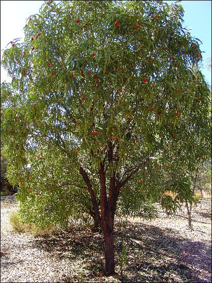 Santalum acuminatum plant