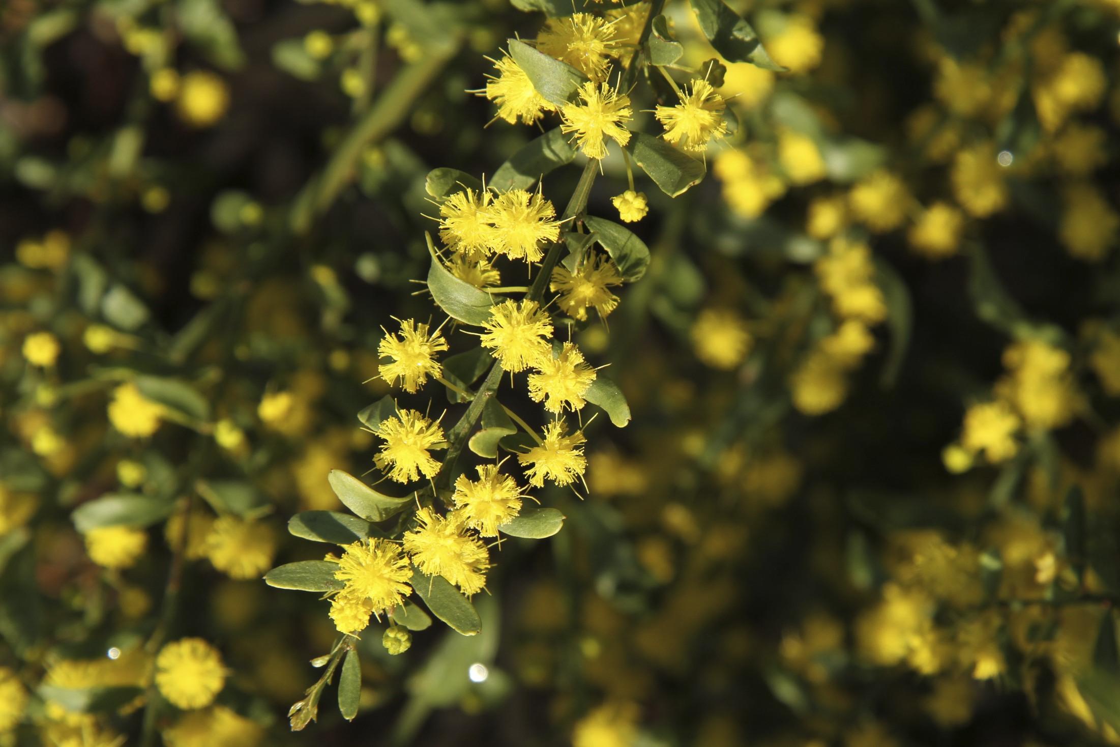 Acacia acinacea flora ALA source